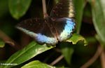 Blue and black butterfly in rainforest of Borneo (Kalimantan, Borneo - Indonesian Borneo)
