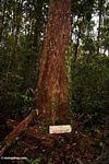 Ramin tree (Kalimantan, Borneo - Indonesian Borneo)