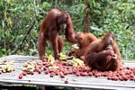 Orangutans on feeding platform in Tanjung Puting National Park (Kalimantan, Borneo - Indonesian Borneo)