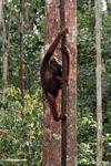 Orangutan climbing a forest liana (Kalimantan, Borneo - Indonesian Borneo)