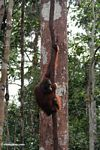 Orangutan hanging on a forest liana (Kalimantan, Borneo - Indonesian Borneo)