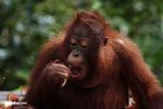 Young orang-utan eating rambutan fruit (Kalimantan, Borneo - Indonesian Borneo)