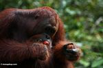 Red orangutan eating rambutan fruit (Kalimantan, Borneo - Indonesian Borneo)