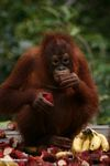 Young orangutan eating rambutan fruit (Kalimantan, Borneo - Indonesian Borneo)