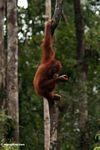 Young orang-utan feeding on rambutan fruit in Tanjung Puting National Park (Kalimantan, Borneo - Indonesian Borneo)