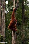 Young orang-utan  in Tanjung Puting National Park (Kalimantan, Borneo - Indonesian Borneo)
