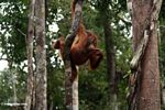 Young orang-utan grasping a woody liana while pondering (Kalimantan, Borneo - Indonesian Borneo)
