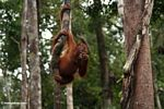 Young orang-utan grasping a woody liana while eating a Rambutan (Kalimantan, Borneo - Indonesian Borneo)