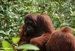 Orang family (Kalimantan, Borneo - Indonesian Borneo)