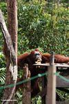 Large male orangutan climbing up to feeding platform at Camp Leaky (Kalimantan, Borneo - Indonesian Borneo)