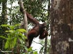 Orang-utan climbing while eating bananas (Kalimantan, Borneo - Indonesian Borneo)