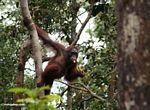 Orang climbing while eating bananas (Kalimantan, Borneo - Indonesian Borneo)