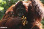 Mother orangutan eating bananas while holding infant (Kalimantan, Borneo - Indonesian Borneo)