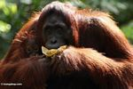 Mother orang eating banana while holding infant (Kalimantan, Borneo - Indonesian Borneo)