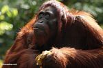 Mother orang looking skyward while holding infant (Kalimantan, Borneo - Indonesian Borneo)