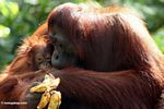 Mother orang with infant (Kalimantan, Borneo - Indonesian Borneo)