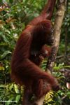 Mother orangutan with baby (Kalimantan, Borneo - Indonesian Borneo)