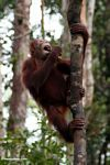 Young orangutan eating a banana while grabbing a woddy liana (Kalimantan, Borneo - Indonesian Borneo)