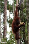 Young orangutan eating a banana while hanging from a vine (Kalimantan, Borneo - Indonesian Borneo)
