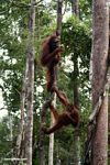 Pair of orangutans climbing a large liana in Borneo (Kalimantan, Borneo - Indonesian Borneo)