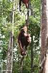 Mother orangutan with infant in tree (Kalimantan, Borneo - Indonesian Borneo)