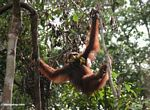 Orangutan in trees with a bunch of bananas (Kalimantan, Borneo - Indonesian Borneo)