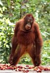 Young orangutan standing on feeding platform (Kalimantan, Borneo - Indonesian Borneo)