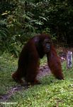 Adult Male Orangutan walking with arms on ground (Kalimantan, Borneo - Indonesian Borneo)