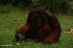 Adult Male Orangutan sitting on grass (Kalimantan, Borneo - Indonesian Borneo)