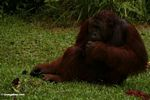 Adult Male Orangutan sitting on grass at Camp Leaky (Kalimantan, Borneo - Indonesian Borneo)