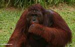 Adult Male Orang-utan (Kalimantan, Borneo - Indonesian Borneo)