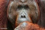 Ex-captive Adult Male Orangutan (Pongo pygmaeus) (Kalimantan, Borneo - Indonesian Borneo)