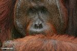 Ex-captive Adult Male Orang-utan (Pongo pygmaeus) (Kalimantan, Borneo - Indonesian Borneo)