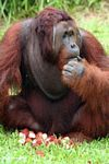 Rehabilitated Adult Male Orang-utan (Pongo pygmaeus) lost in thought over a pile of rambutan fruit (Kalimantan, Borneo - Indonesian Borneo)