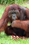 Rehabilitated Adult Male Orang-utan (Pongo pygmaeus) with a pile of rambutan fruit (Kalimantan, Borneo - Indonesian Borneo)