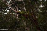 Staghorn ferns (Kalimantan, Borneo - Indonesian Borneo)