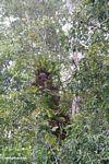 Staghorn ferns growing up tree (Kalimantan, Borneo - Indonesian Borneo)