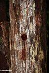 Tree hollow created by a woodpecker (Kalimantan, Borneo - Indonesian Borneo)