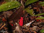 Red fruits on rainforest shrub (Kalimantan, Borneo - Indonesian Borneo) -- kali9636