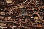 Yellow-, green-, and orange-spotted butterfly with blue underparts; in leaf litter (Kalimantan, Borneo - Indonesian Borneo)