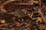 Yellow-spotted butterfly in leaf litter (Kalimantan, Borneo - Indonesian Borneo)