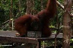 Rehabilitated adult male Borneo Orangutan drinking milk on feeding platform at Pondok Tanggui (Kalimantan, Borneo - Indonesian Borneo)