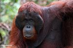 Ex-captive adult male Borneo Orangutan (Pongo pygmaeus) (Kalimantan, Borneo - Indonesian Borneo)