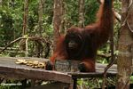 Adult male Borneo Orangutan on feeding platform at Pondok Tanggui (Kalimantan, Borneo - Indonesian Borneo)