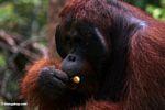Ex-captive adult male Borneo Orangutan (Pongo pygmaeus) eating a banana (Kalimantan, Borneo - Indonesian Borneo)