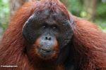 Adult male Borneo Orangutan (Pongo pygmaeus) at Pondok Tanggui