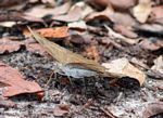 Butterfly in leaf litter (Kalimantan, Borneo - Indonesian Borneo)