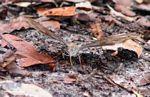 Butterfly in leaf litter (Kalimantan, Borneo - Indonesian Borneo) -- kali9664