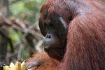Adult male Borneo Orangutan (Pongo pygmaeus) at Pondok Tanggui (Kalimantan, Borneo - Indonesian Borneo)