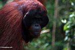 Adult male Borneo Orangutan (Pongo pygmaeus) at Pondok Tanggui (Kalimantan, Borneo - Indonesian Borneo) -- kali9667